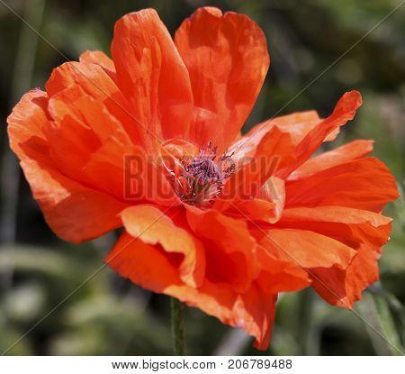 An Olympia Orange Oriental Poppy or Papaver orientale a Perennial Flowering Plant
