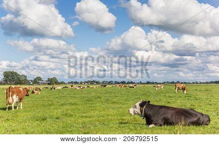 Dutch Landscape With Cows Near Groningen