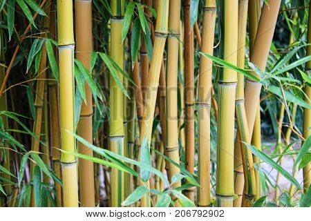 Bamboo branch in bamboo forest, beautiful green nature background.