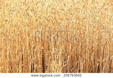 Wheat field. Ears of golden wheat close up. Beautiful Nature Sunset Landscape. Background of ripening ears of meadow wheat field. Rich harvest Concept