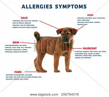 Puppy and list of allergies symptoms on white background
