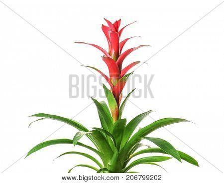 Red Guzmania flower on white background