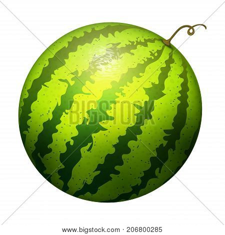 Ripe striped watermelon realistic juicy healthy vector illustration. Natural green isolated ripe melon. Vegetarian diet freshness dessert. Water refreshment delicious fruit.