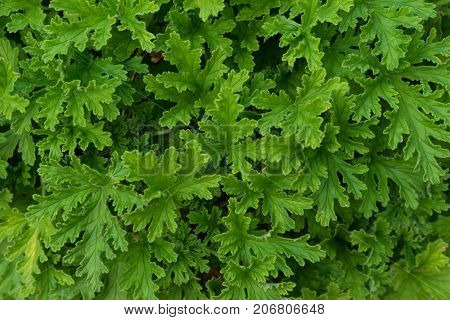 leaves from pelargonium graveolens geraniaceae from south africa close up structure ideal for background use macro
