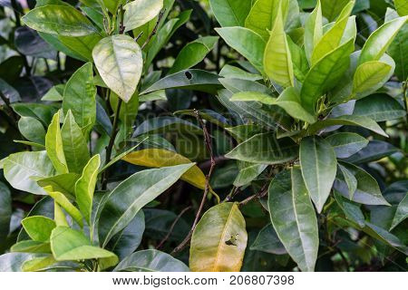 green leaves from citrus sinensis orange plant tree close up structure background