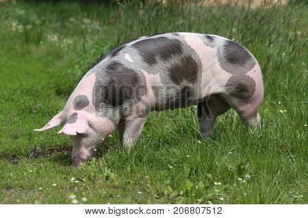 Young spotted domestic pietrain pig with black spots grazing on summer pasture