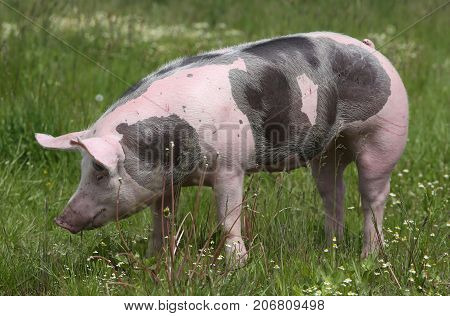Beautiful young petrain breed pig posing on summer meadow