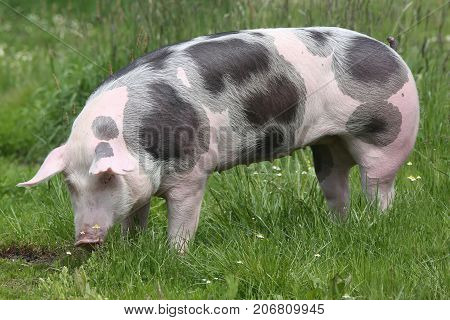 Closeup Of A Young Pig On Pasture