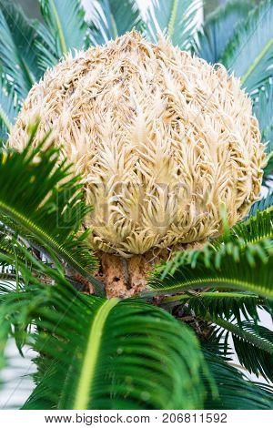 big bud of cycas revoluta cycadaceae sago palm from japan