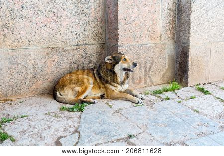 Stray dog resting on the ground in summer day