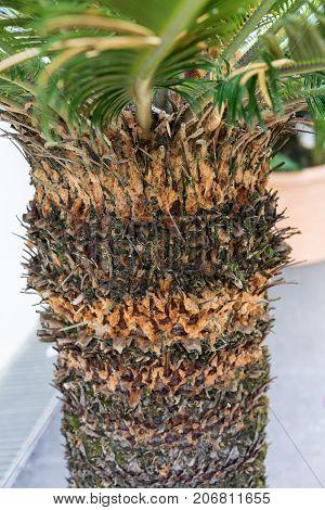 tree trunk of cycas revoluta cycadaceae sago palm from japan