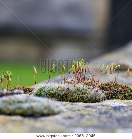 Moss green spore capsules on red stalks on sandstone wall blurred background