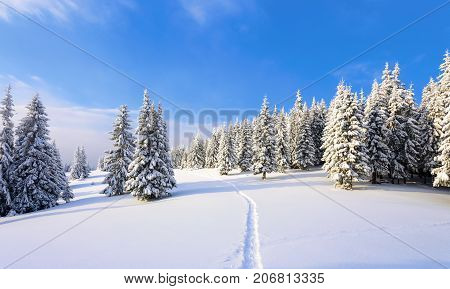 On the lawn covered with white snow there is a trampled path that lead to the dense forest in nice winter day.