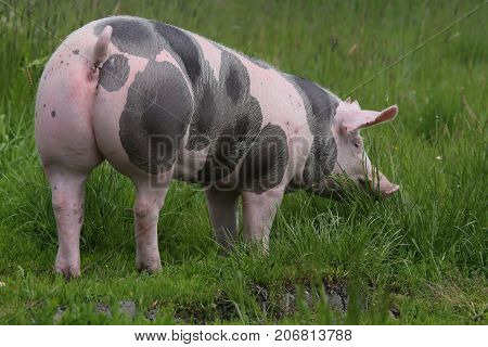 Shot of a pietrain breed pig from behind on summer meadow rural scene near a farm