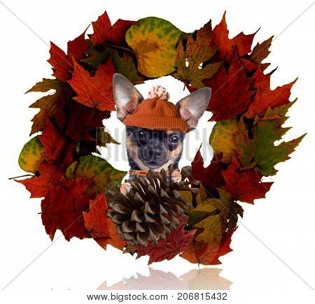 Cute dog chihuahua look from the autumn wreath