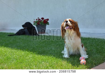 Lovely dog - Cavalier King Charles Spaniel - with its toy on a lawn and barking while another big black dog is lying - in a backyard