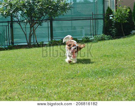 Cavalier King Charles Spaniel In A Backyard