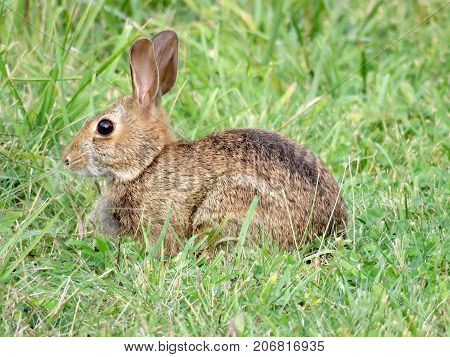 Eastern cottontail rabbit on the grass in forest of Thornhill Canada September 15 2017