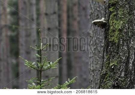 Polyporus on the tree in the forest