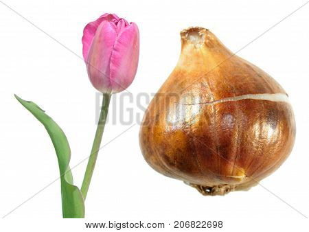 Pink Kaufmanniana tulip (Waterlily tulip) flower with tulip bulb isolated on white background