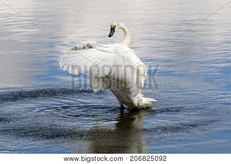 Swan spreading wings on Yellowstone River at Yellowstone National Park