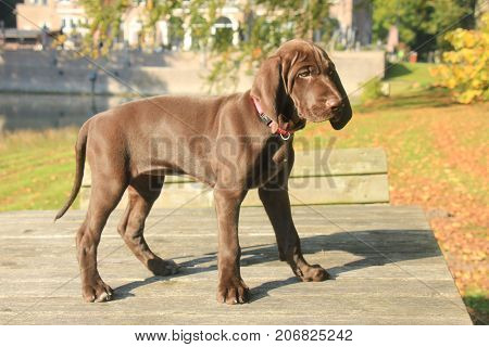 German shorthaired pointer puppy 9 weeks old solid liver female