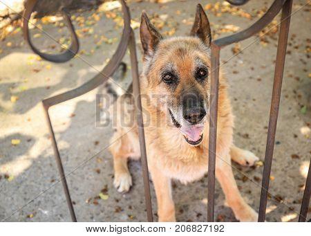 Dog behind bars at animal shelter. Adoption concept