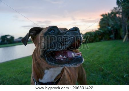 boxer dog sticks out tongue and makes a happy face