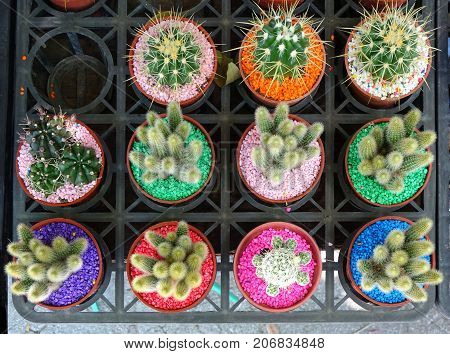 Selling Cactuses With Colorful Stones