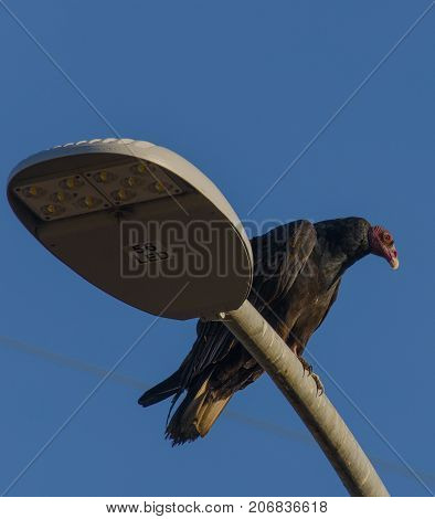 Turkey Vulture Hanging out on a light pole