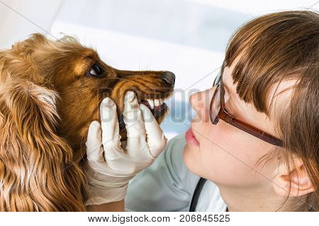 Veterinarian Checks Teeth To A Dog