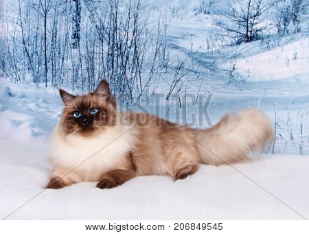 Siberian Cat On Winter Nature In Snow