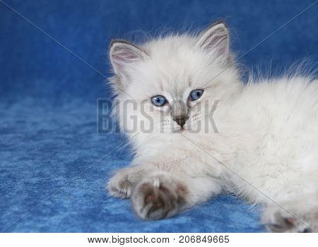 Small siberian neva masquarade colorpoint kitten on blue background