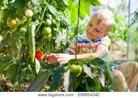 Cheerful Tanned Boy Blond Gathers Red Tomatoes In A Greenhouse.