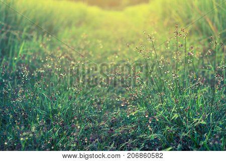 Drop water on grass flower close up.