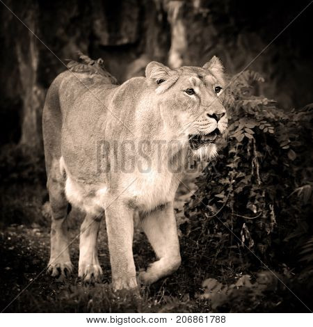 Lioness (panthera Leo) Standing In Green Grass, Looks Out For Prey