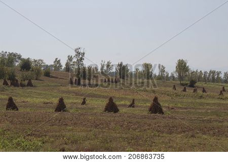 corn plants with cobs in field after harvest. agricultural field with corn. corns bales on a farm field