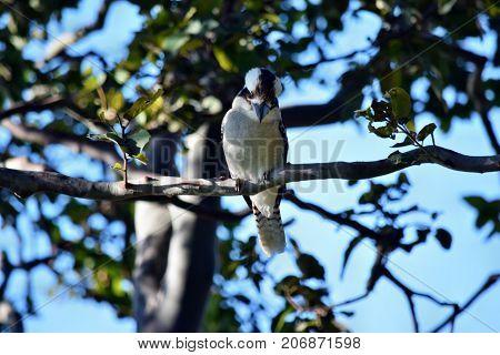 Gaze Kookaburra On The Branch