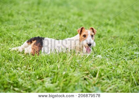 Adorable fox terrier lying in the grass at the local park looking happily to the camera animals pets relaxation peaceful harmony concept.