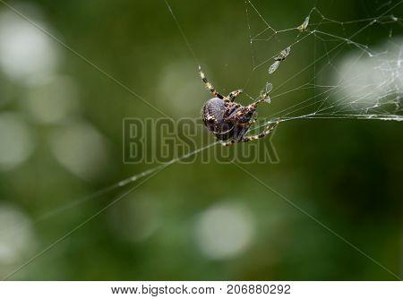 European garden spider on cobweb with trapped flies against blurred green garden background