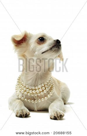 portrait of a cute purebred chihuahua with pearl collar in front of white background poster