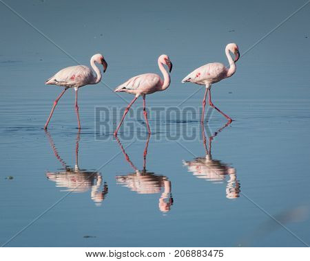 A trio of Lesser Flamingoes reflected in the water at Strandfontein, South Africa