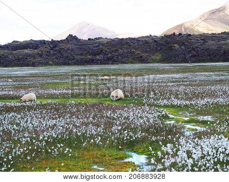 Icelandic sheeps grazing in the Landmannalaugar Valley Iceland