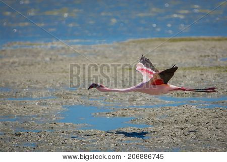A Lesser Flamingo flies low over the mudflats at Geelbek in South Africa