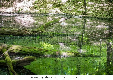 Swamp In The Forest. Mossy Tree Protrudes Above The Water Surface
