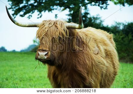 Brown scottish highland cow standing and eating grass on a grass field.