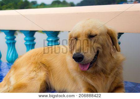 Young golden retriever dog relax on floor.