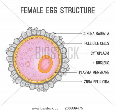 Female Egg Structure Vector Photo Free Trial Bigstock