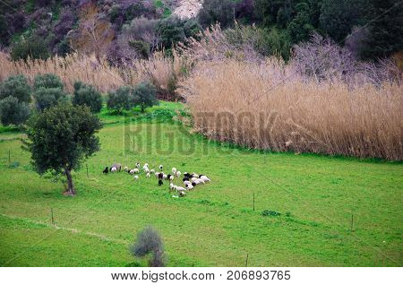 Sheeps in nature on meadow. Farming outdoor, Crete, Greece.