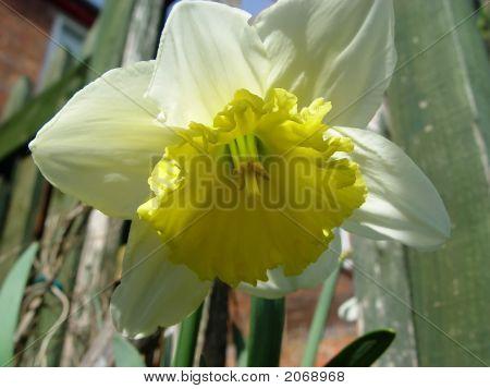 Daffodil Drooping